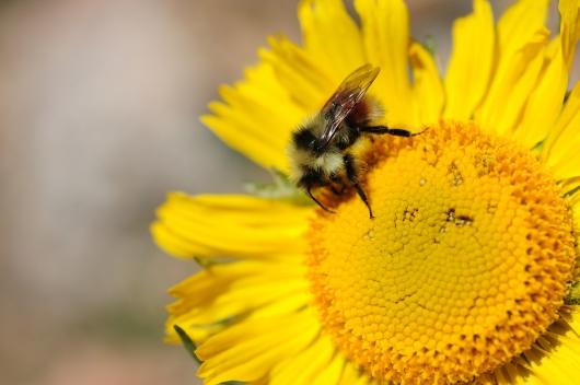 Bumble Bee 01.jpg