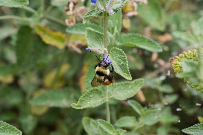 Bumble Bee 02.jpg