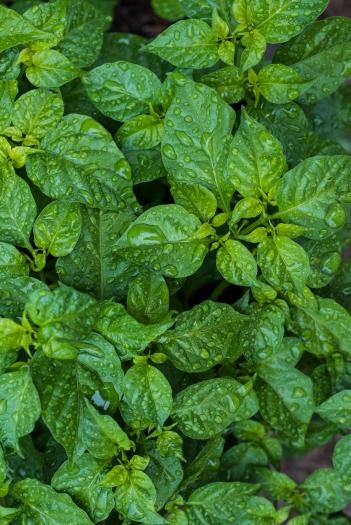 Pepper Leaves.jpg