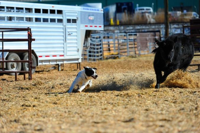 Dog herding sml
