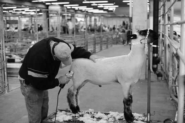 Sheep shear sml