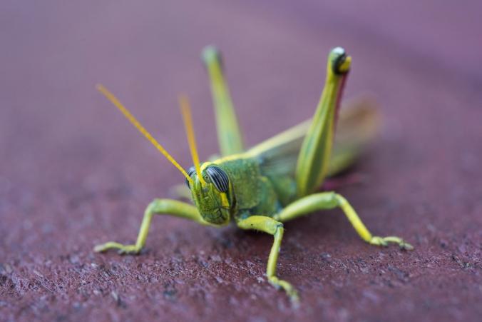 Grasshopper 01 sml