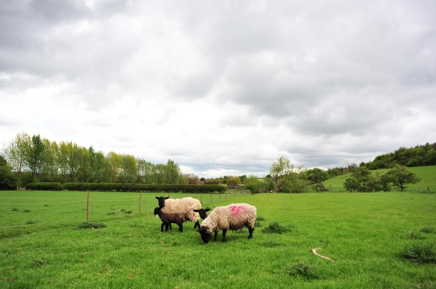 Sheepsies 01 sml