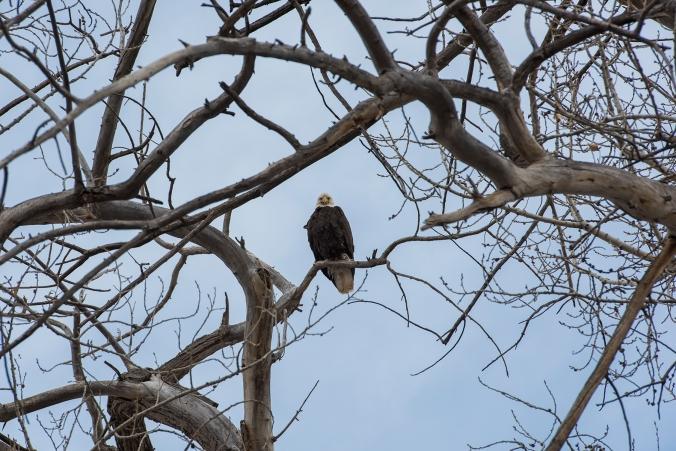 Bald Eagle 01 sml