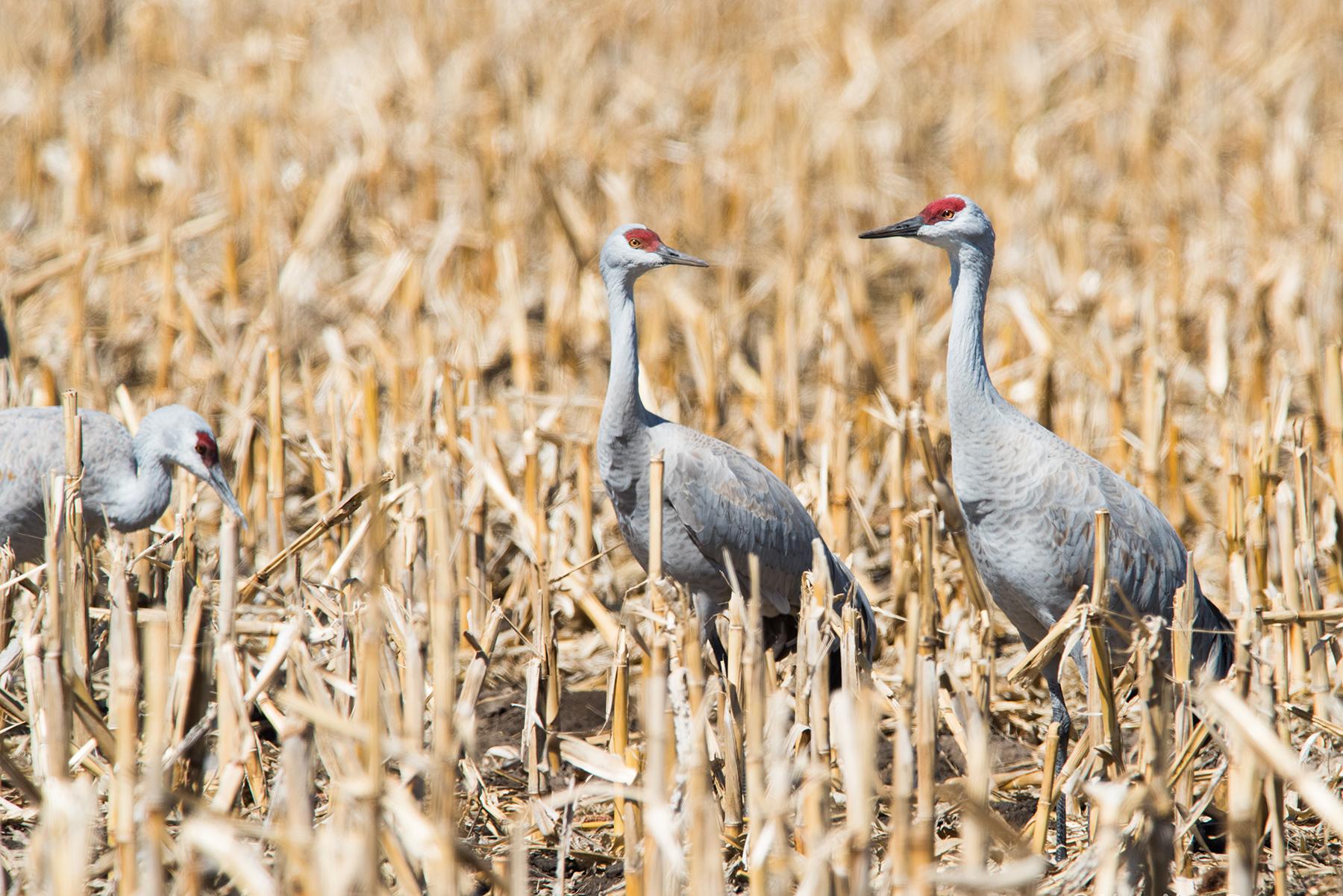 Cranes 05 sml