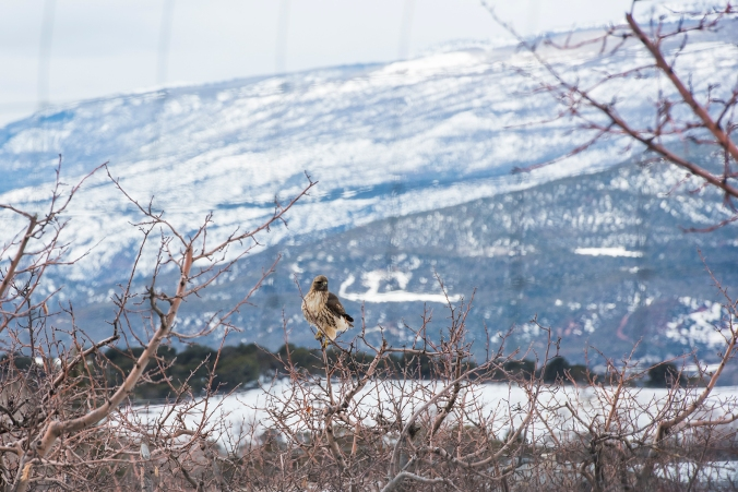 Rough Legged Hawk 01 sml