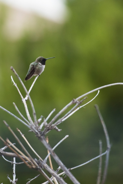 Black Chinned Hummingbird 01 sml