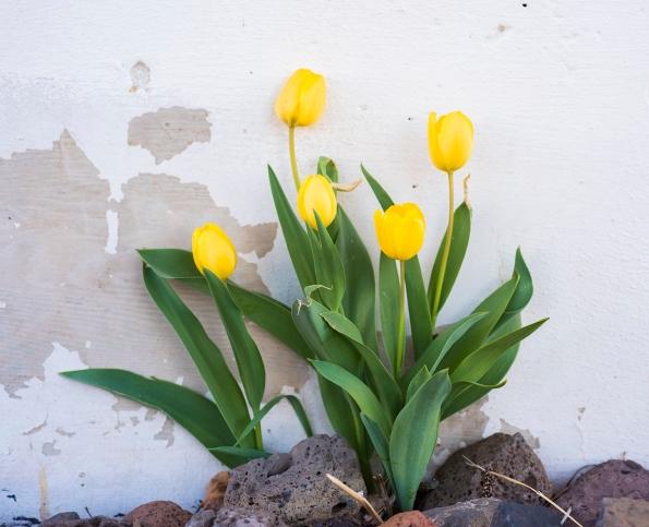 Tulips 01 sml