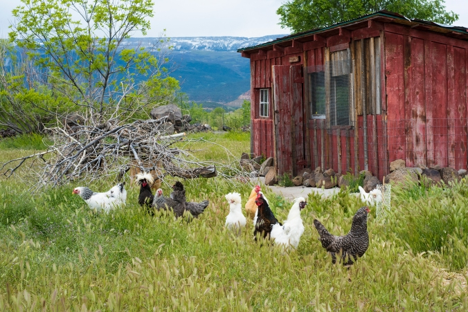 Chickens 01 sml