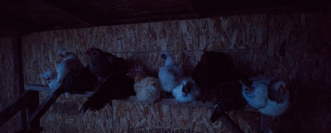 Chickens Roost 01 sml