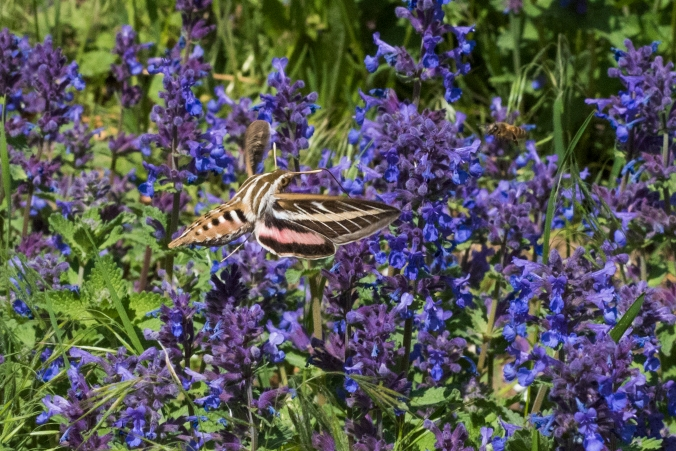 White-lined Sphinx Moth 01 sml