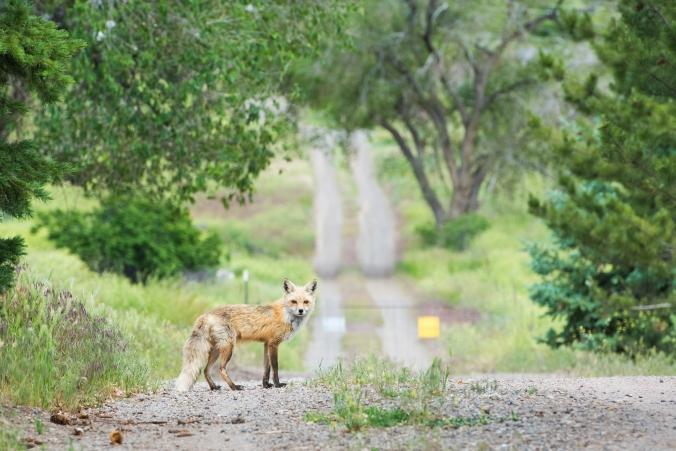 Fox 01 sml