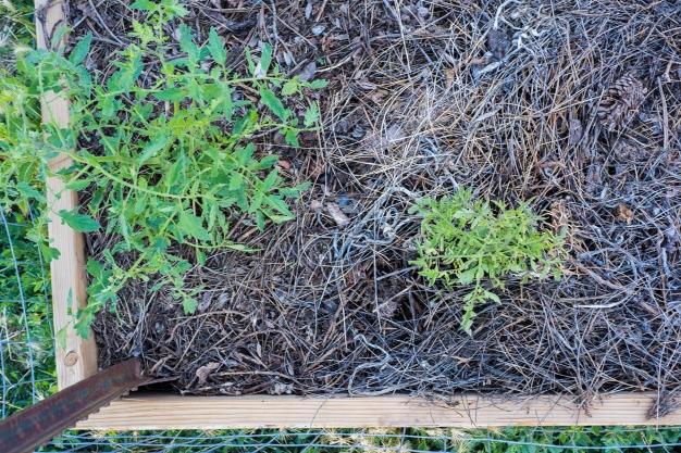 Tomato Plants 01 sml