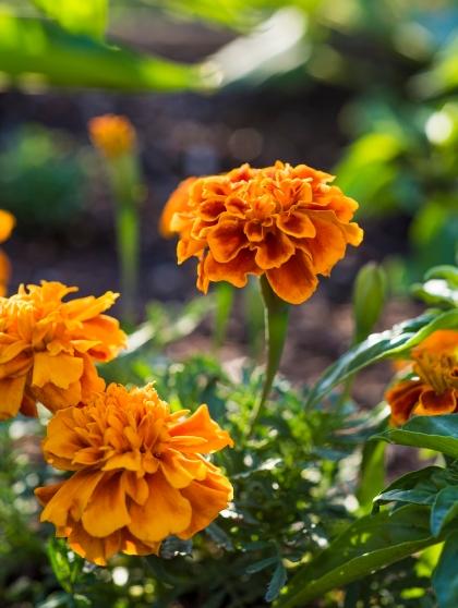 Marigolds 01 sml