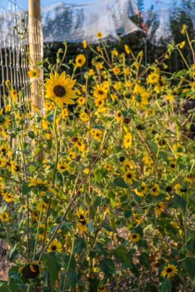 Sunflowers 01 sml