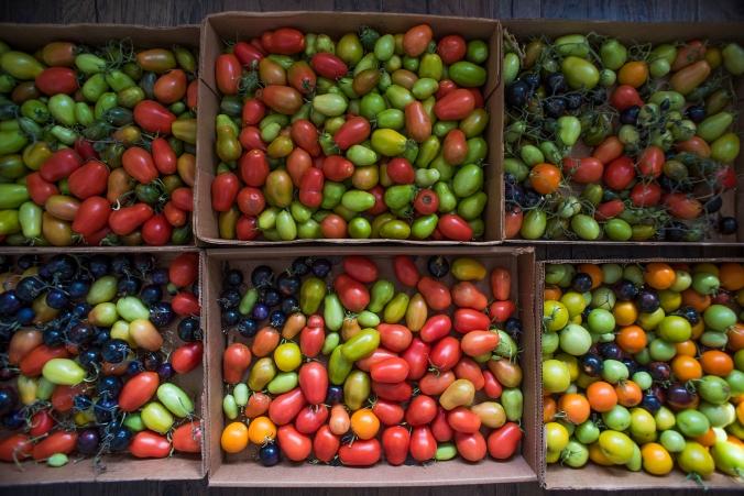 Tomatoes Ripening 01 sml