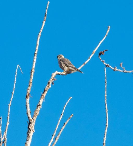 Prairie Falcon 01 sml