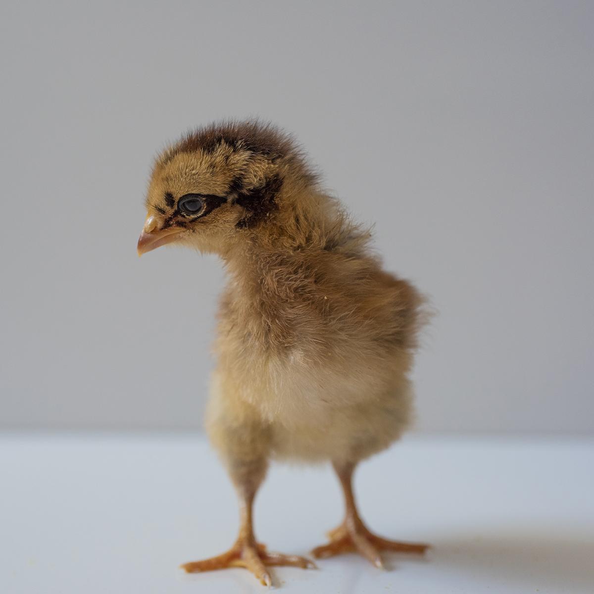Bielefelder Chick sml
