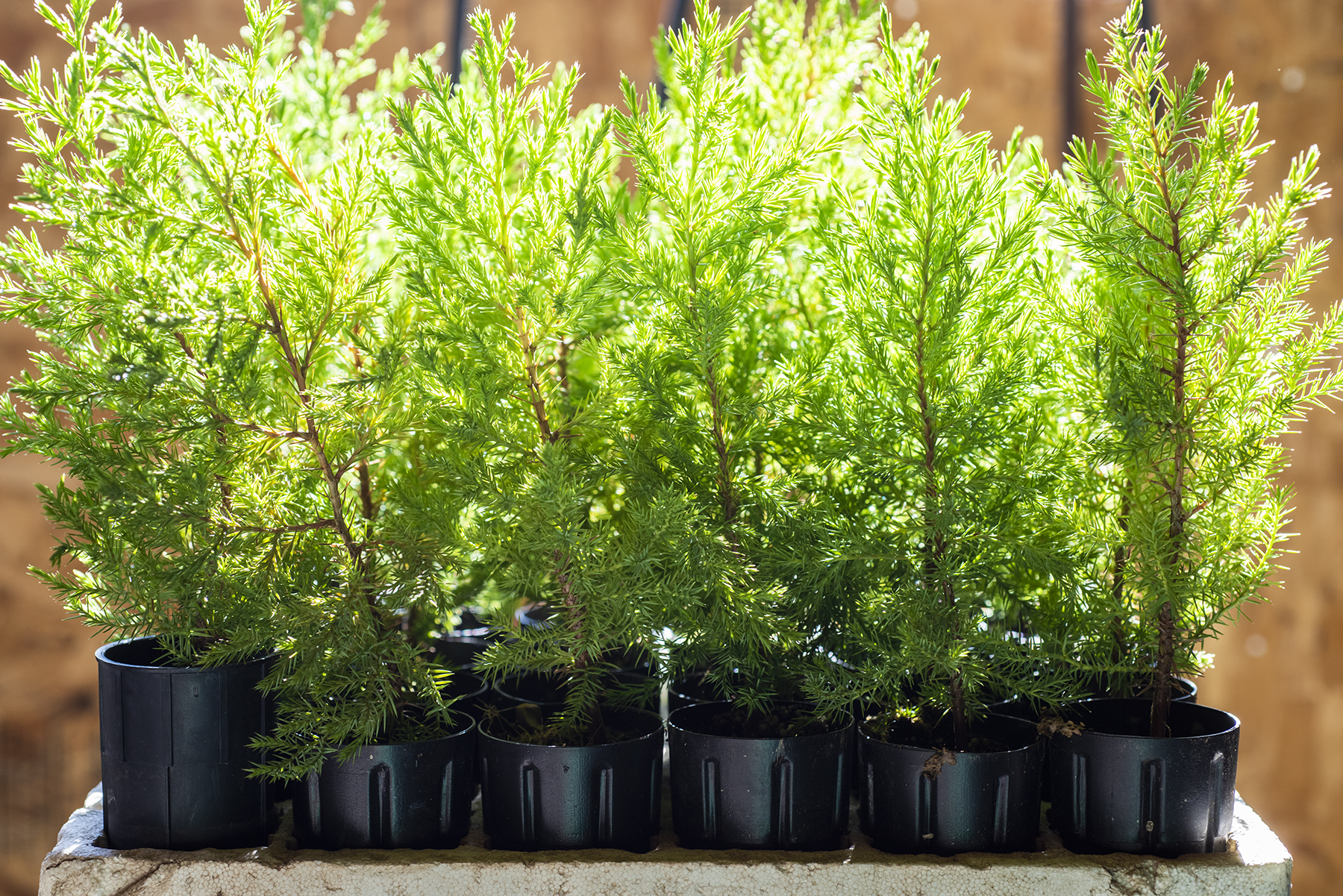 Cedar Trees 01 sml