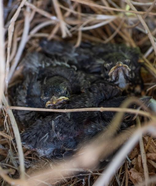 Robin Nest 01 sml