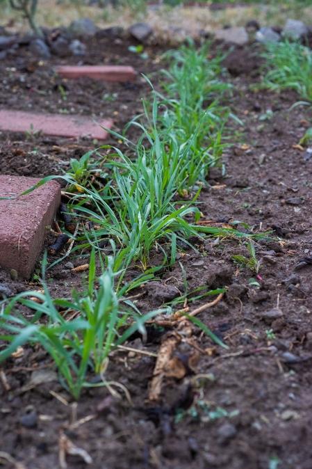 Wheat 01 sml