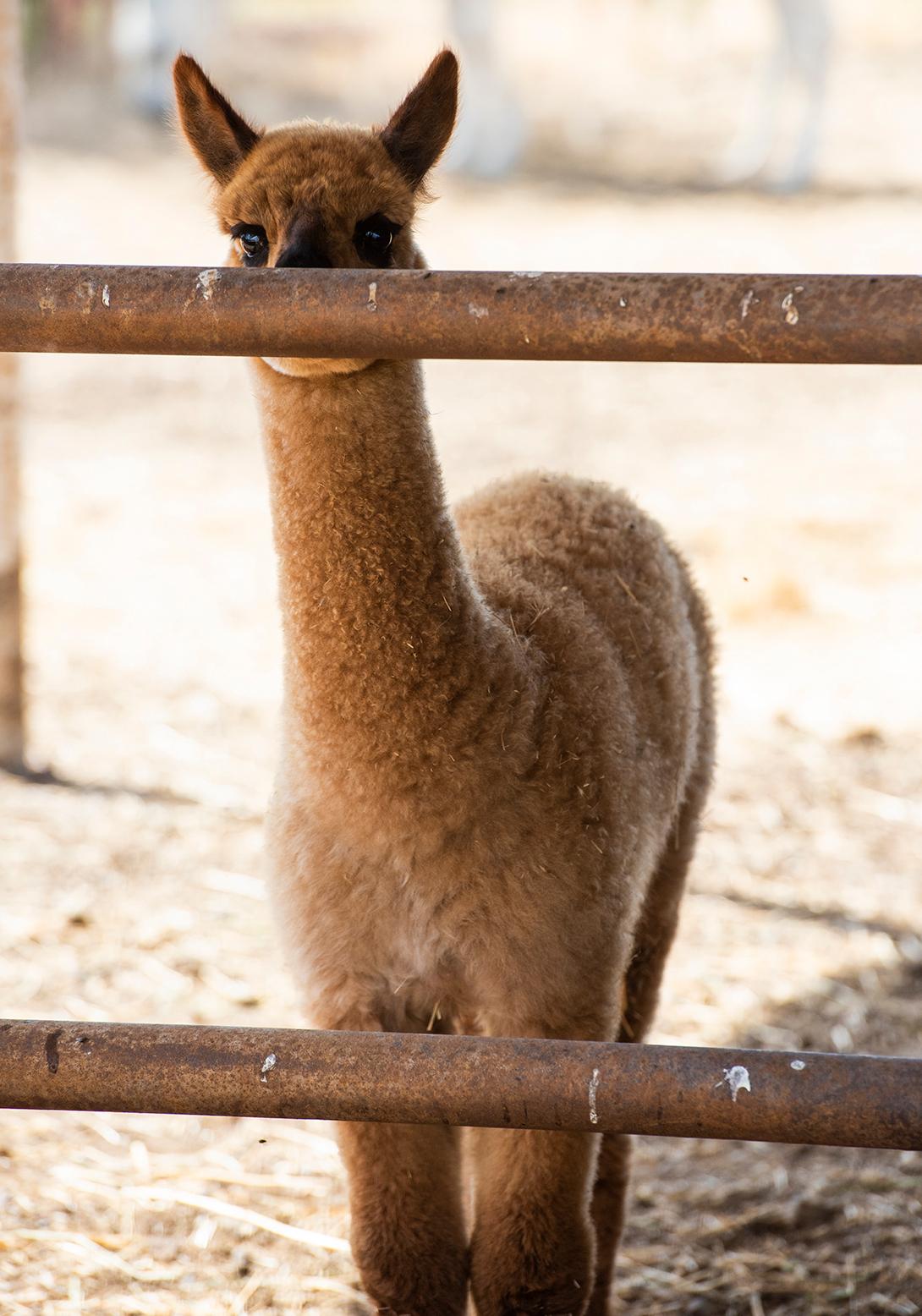 Alpaca Adelaide 01 sml