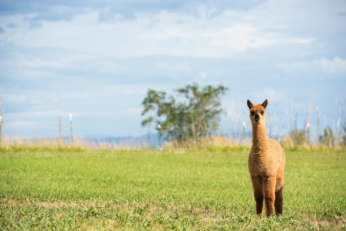 Alpaca Adelaide 03 sml