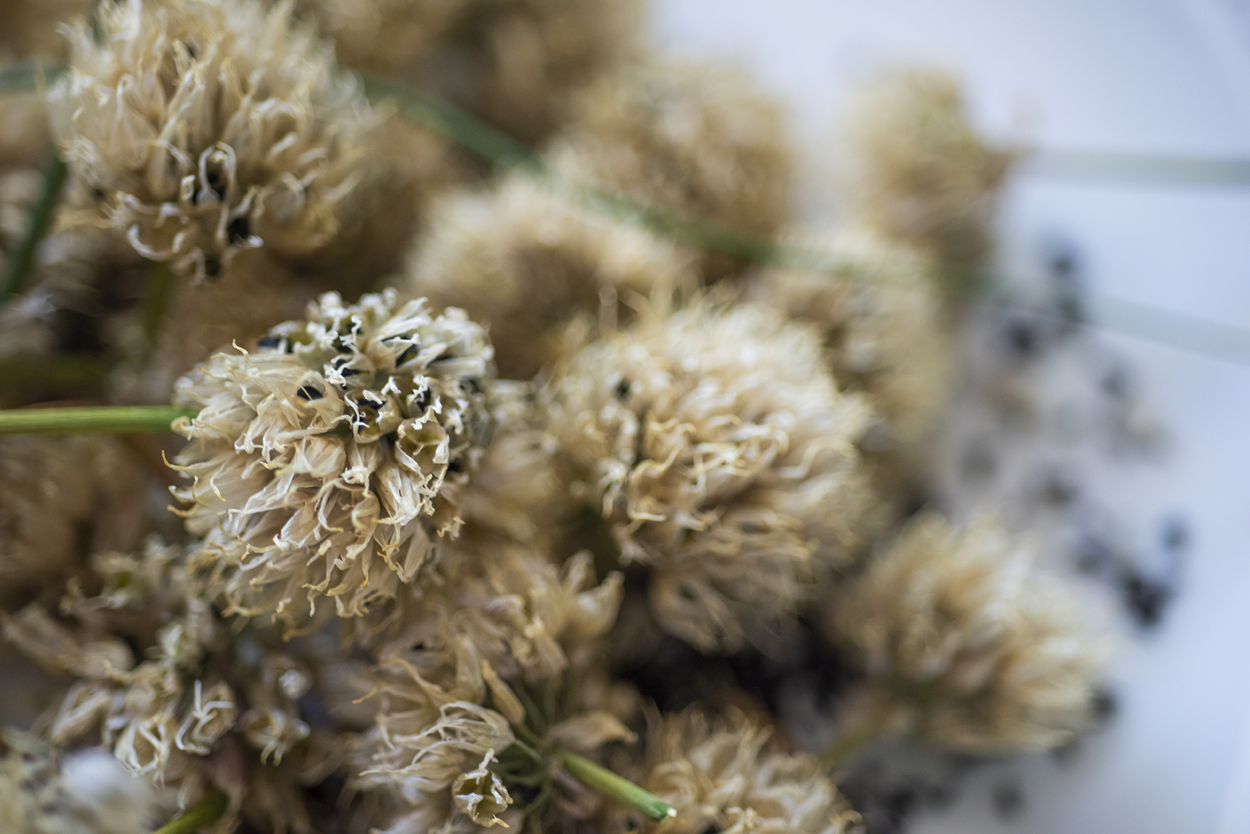 Chive Seeds 01 sml