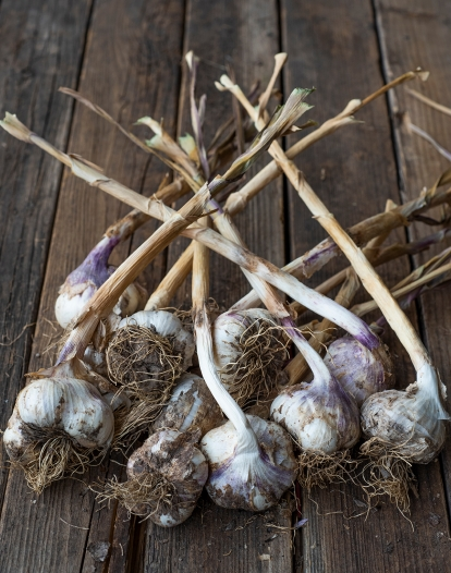 Garlic 01 sml