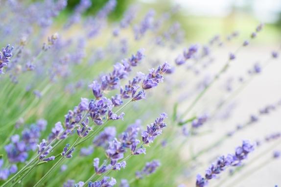 Lavender 01 sml