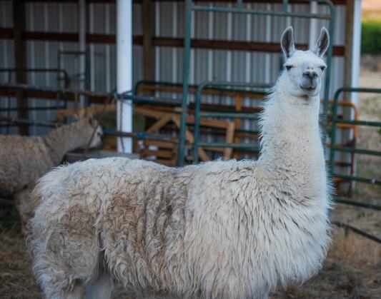 Llama Kingston 01 sml