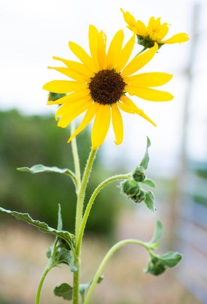 Sunflower 01 sml