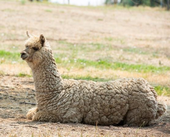 Alpaca Paihia 03 sml