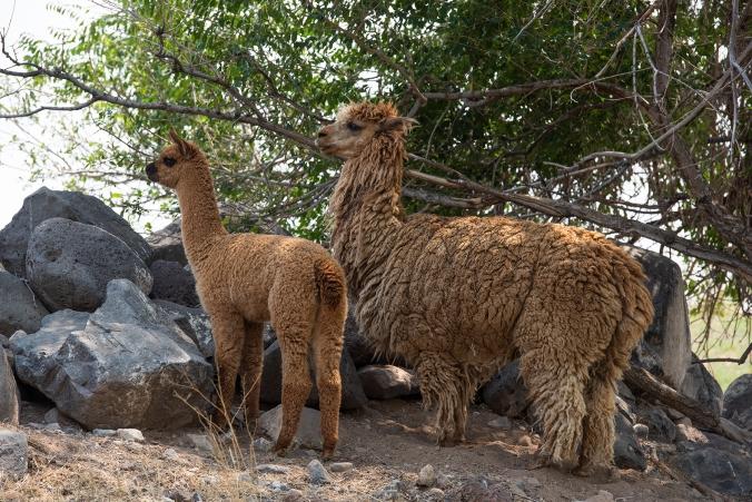 Alpacas 07 sml
