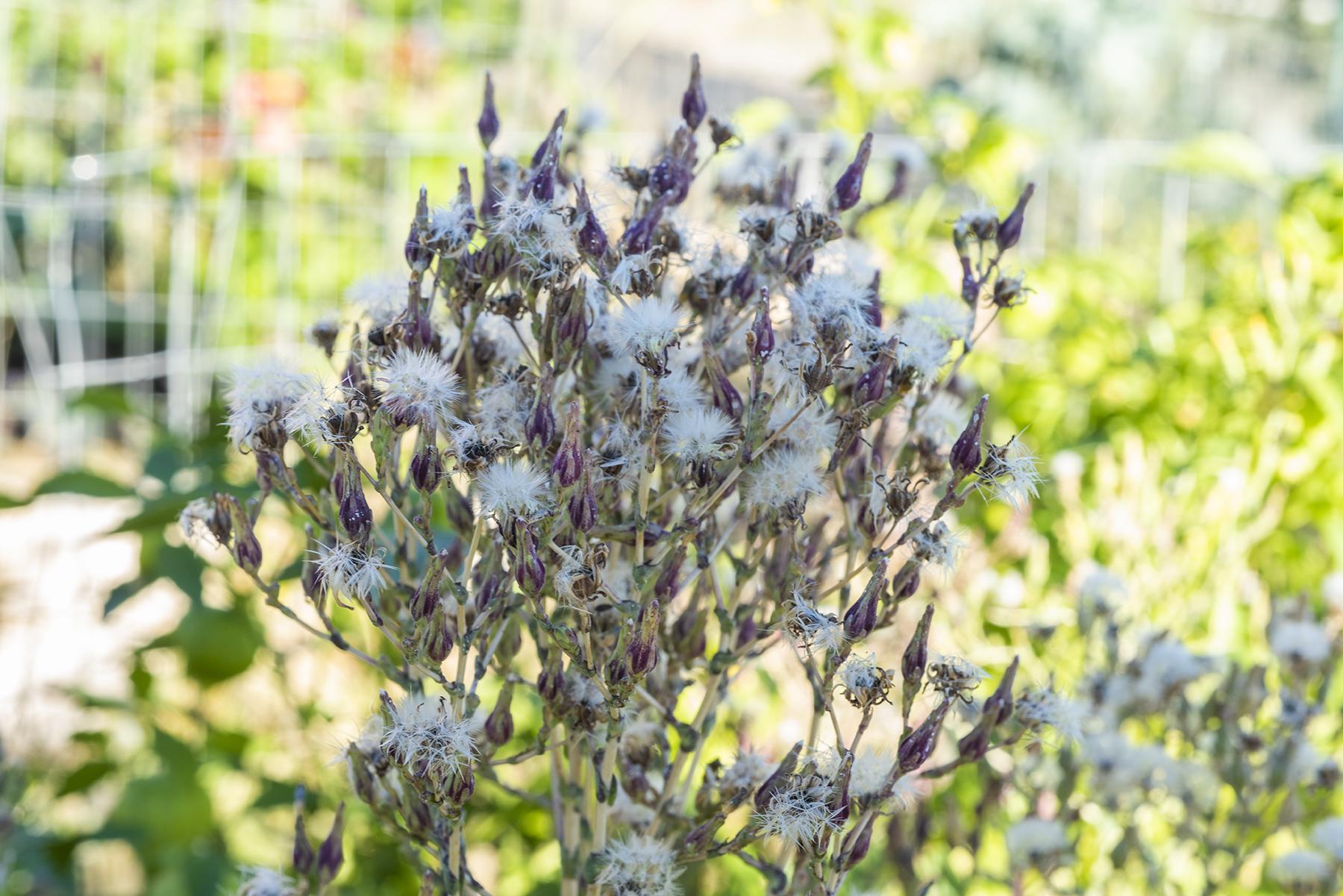 Lettuce Seeds 01 sml